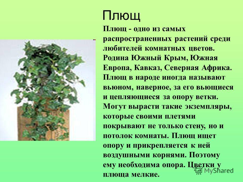Плющ Плющ - одно из самых распространенных растений среди любителей комнатных цветов. Родина Южный Крым, Южная Европа, Кавказ, Северная Африка. Плющ в народе иногда называют вьюном, наверное, за его вьющиеся и цепляющиеся за опору ветки. Могут выраст