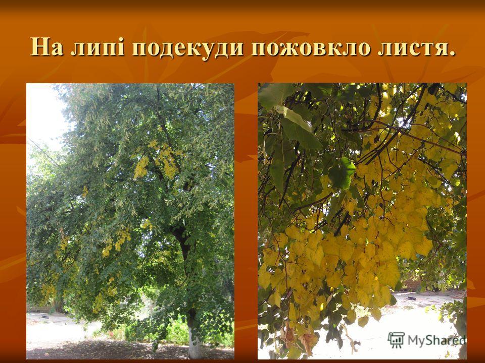 На липі подекуди пожовкло листя.