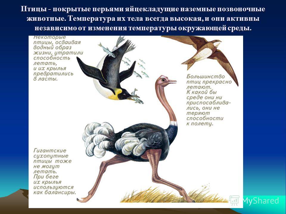Птицы - покрытые перьями яйцекладущие наземные позвоночные животные. Температура их тела всегда высокая, и они активны независимо от изменения температуры окружающей среды.
