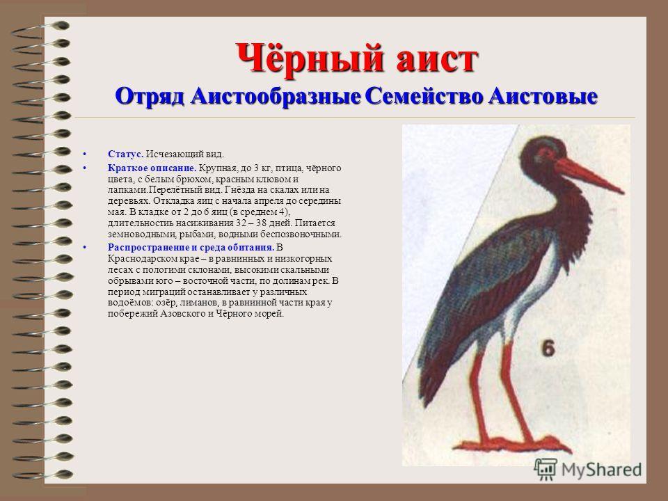 черный аист фото и описание