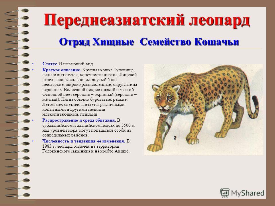 Переднеазиатский леопард Отряд Хищные Семейство Кошачьи Статус. Исчезающий вид. Краткое описание. Крупная кошка.Туловище сильно вытянутое, конечности низкие, Лицевой отдел головы сильно вытянутый.Уши невысокие, широко расставленные, округлые на верши
