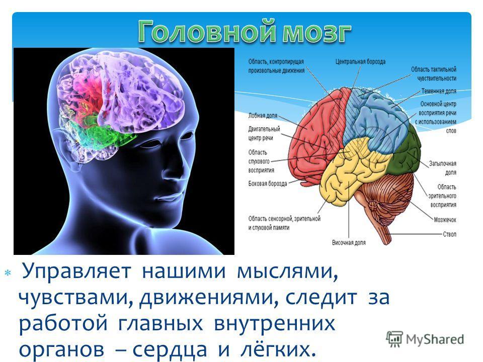 Управляет нашими мыслями, чувствами, движениями, следит за работой главных внутренних органов – сердца и лёгких.