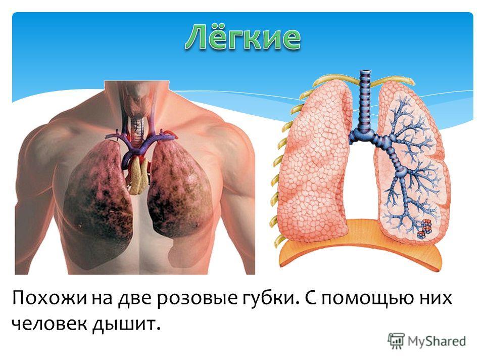 Похожи на две розовые губки. С помощью них человек дышит.