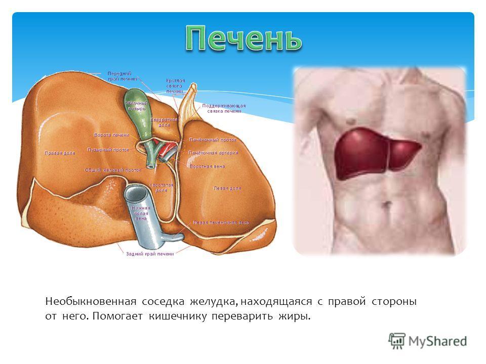 Необыкновенная соседка желудка, находящаяся с правой стороны от него. Помогает кишечнику переварить жиры.
