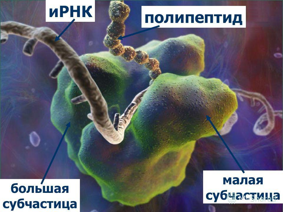 иРНК полипептид большая субчастица малая субчастица