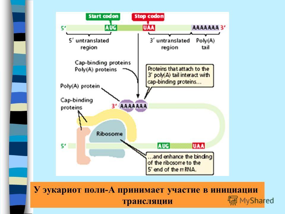 У эукариот поли-А принимает участие в инициации трансляции