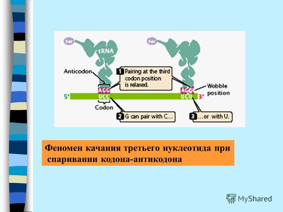 Феномен качания третьего нуклеотида при спаривании кодона-антикодона