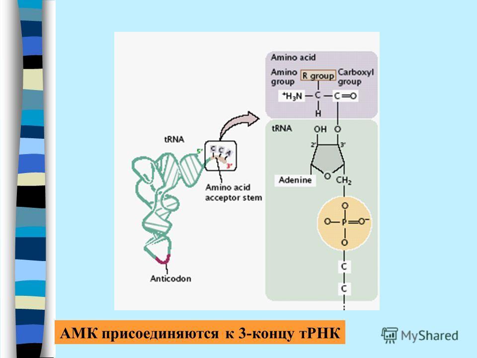 АМК присоединяются к 3-концу тРНК