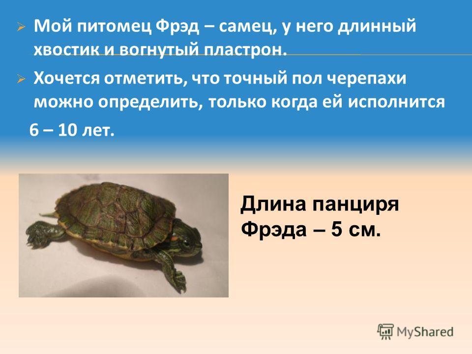 Мой питомец Фрэд – самец, у него длинный хвостик и вогнутый пластрон. Хочется отметить, что точный пол черепахи можно определить, только когда ей исполнится 6 – 10 лет. Длина панциря Фрэда – 5 см.
