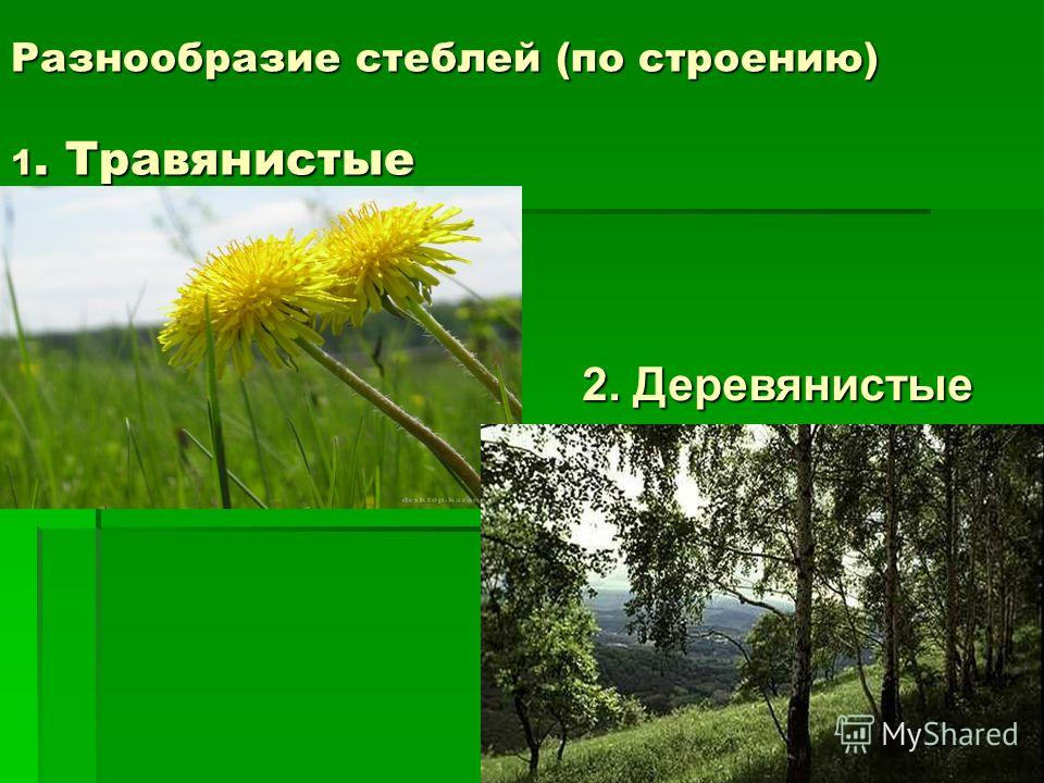 Разнообразие стеблей (по строению) 1. Травянистые 2. Деревянистые
