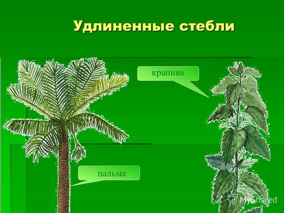 Удлиненные стебли пальма крапива