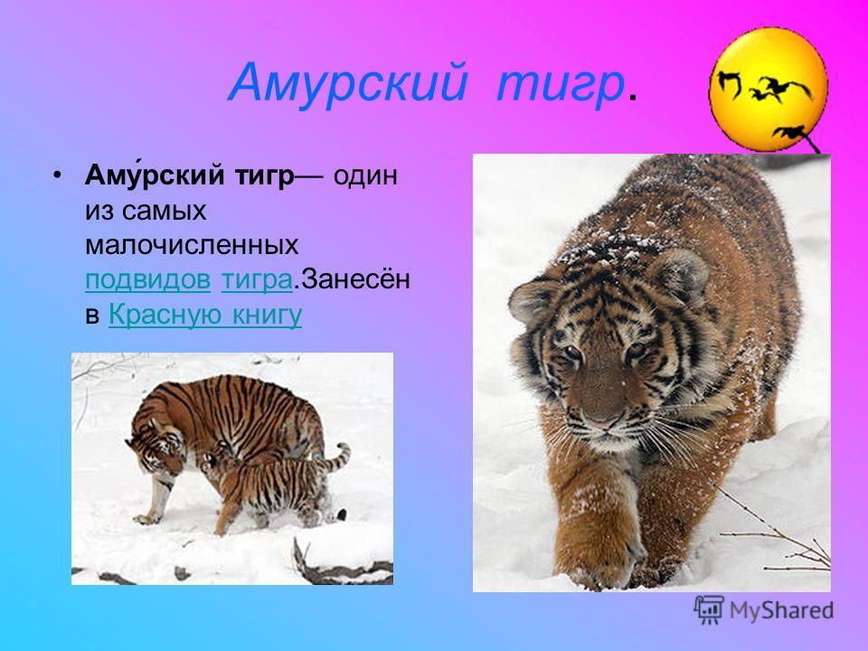 Амурский тигр. Аму́рский тигр один из самых малочисленных подвидов тигра.Занесён в Красную книгу подвидовтиграКрасную книгу