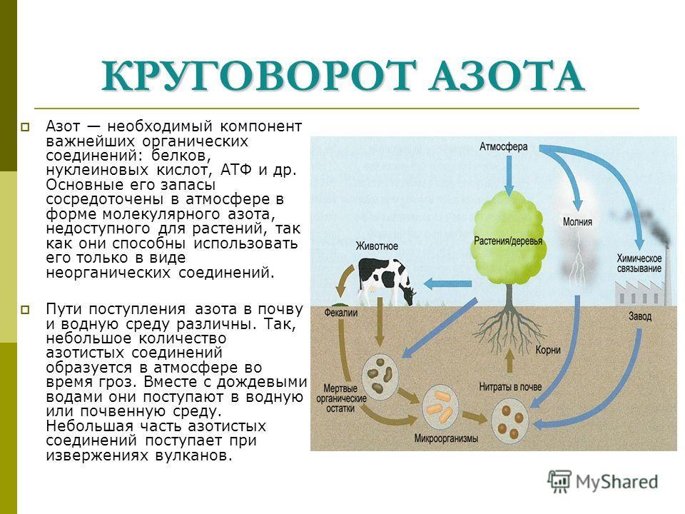 КРУГОВОРОТ АЗОТА Азот необходимый компонент важнейших органических соединений: белков, нуклеиновых кислот, АТФ и др. Основные его запасы сосредоточены в атмосфере в форме молекулярного азота, недоступного для растений, так как они способны использова
