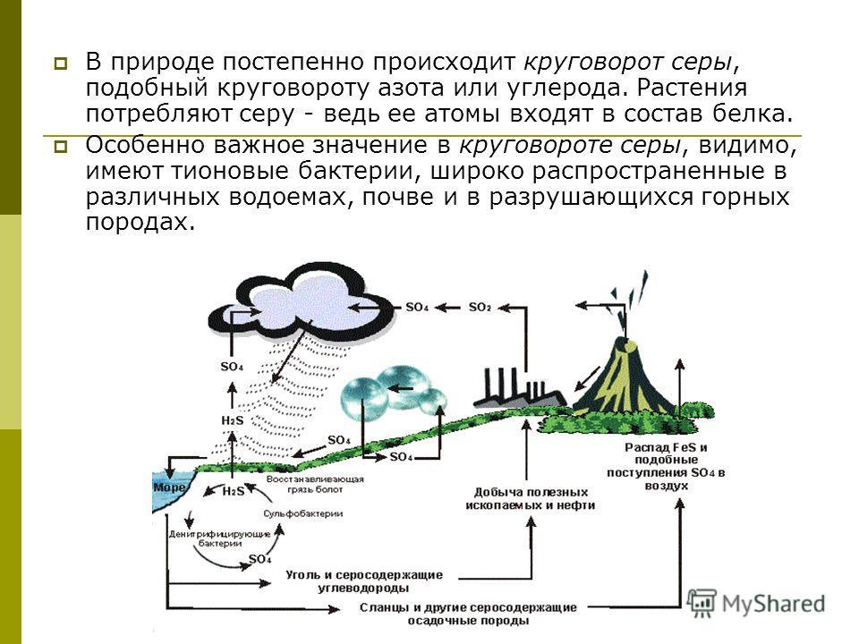 В природе постепенно происходит круговорот серы, подобный круговороту азота или углерода. Растения потребляют серу - ведь ее атомы входят в состав белка. Особенно важное значение в круговороте серы, видимо, имеют тионовые бактерии, широко распростран
