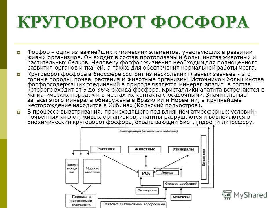 КРУГОВОРОТ ФОСФОРА Фосфор – один из важнейших химических элементов, участвующих в развитии живых организмов. Он входит в состав протоплазмы и большинства животных и растительных белков. Человеку фосфор жизненно необходим для полноценного развития орг