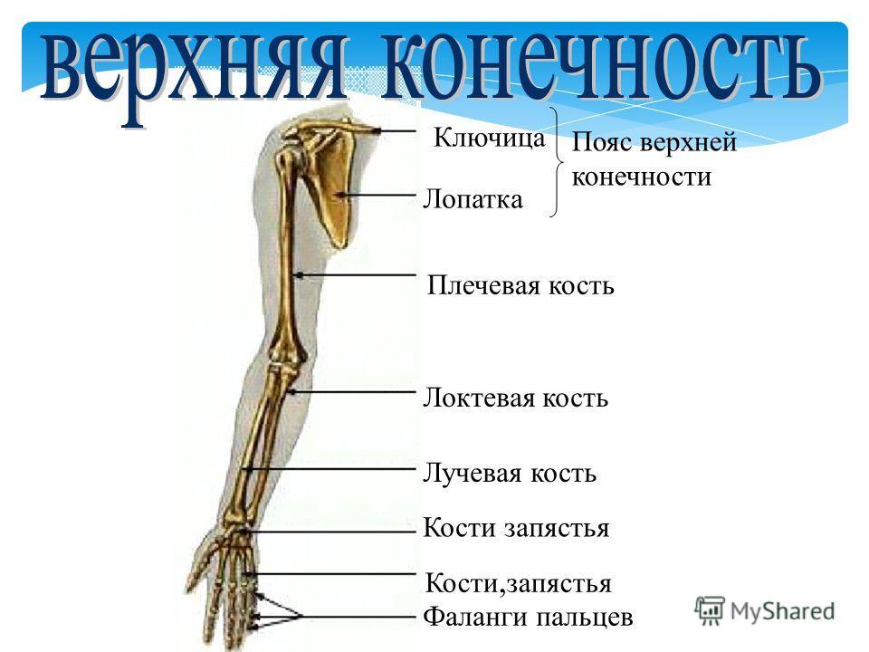 Ключица Лопатка Плечевая кость Локтевая кость Лучевая кость Кости запястья Кости, запястья Фаланги пальцев Пояс верхней конечности