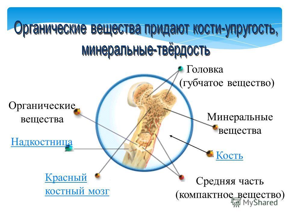 Кость Головка (губчатое вещество) Красный костный мозг Средняя часть (компактное вещество) Минеральные вещества Органические вещества Надкостница