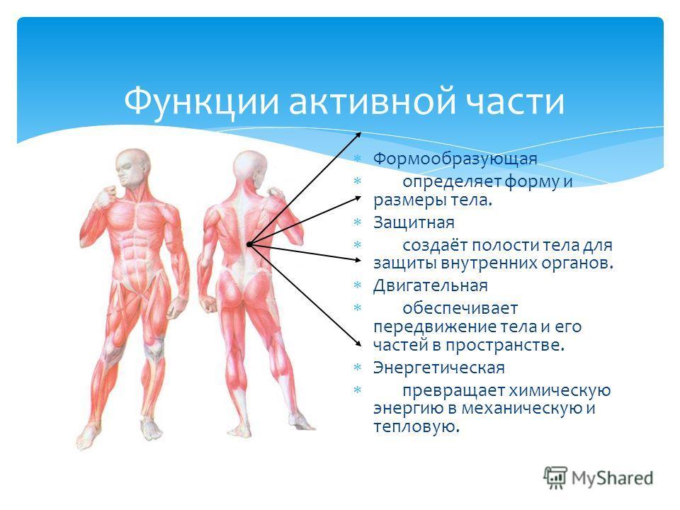 Функции активной части Формообразующая определяет форму и размеры тела. Защитная создаёт полости тела для защиты внутренних органов. Двигательная обеспечивает передвижение тела и его частей в пространстве. Энергетическая превращает химическую энергию