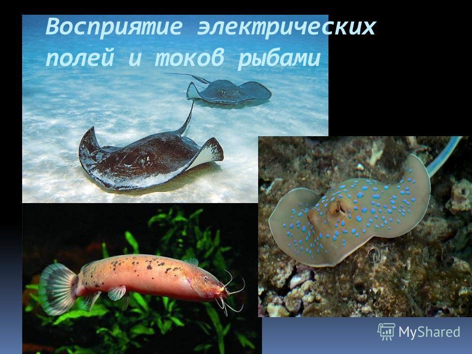 Восприятие электрических полей и токов рыбами