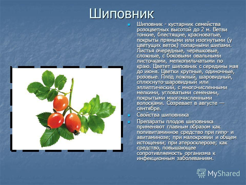 Шиповник Шиповник - кустарник семейства розоцветных высотой до 2 м. Ветви тонкие, блестящие, красноватые, покрыты прямыми или изогнутыми (у цветущих веток) попарными шипами. Листья очередные, черешковые, сложные, с боковыми овальными листочками, мелк