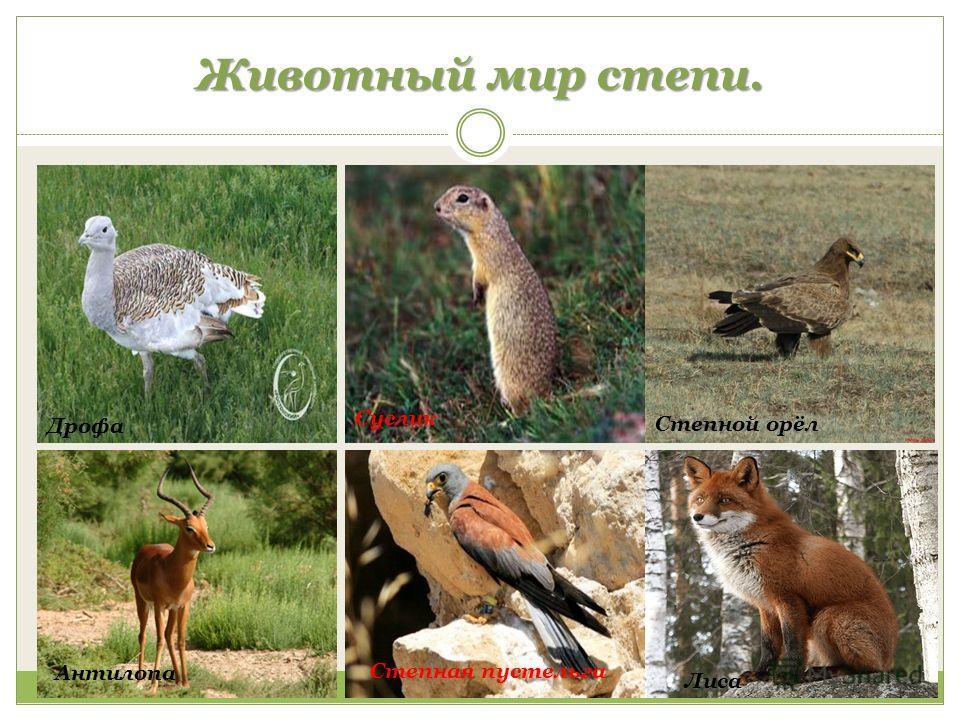 Животный мир степи. Дрофа Суслик Степной орёл Антилопа Степная пустельга Лиса