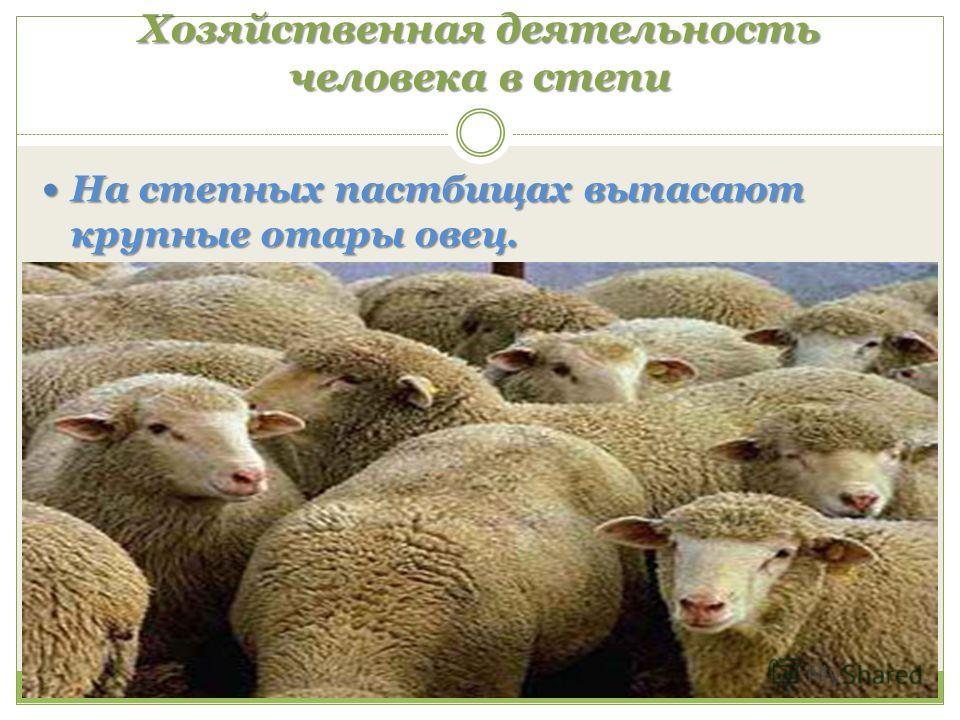 Хозяйственная деятельность человека в степи На степных пастбищах выпасают крупные отары овец. На степных пастбищах выпасают крупные отары овец.