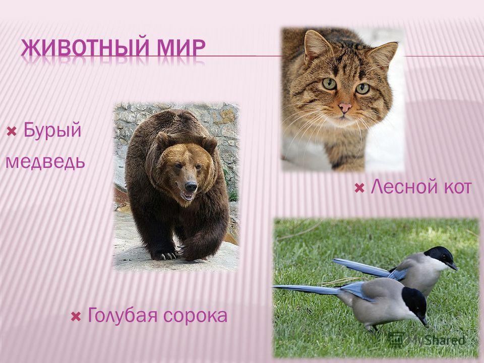 Бурый медведь Лесной кот Голубая сорока