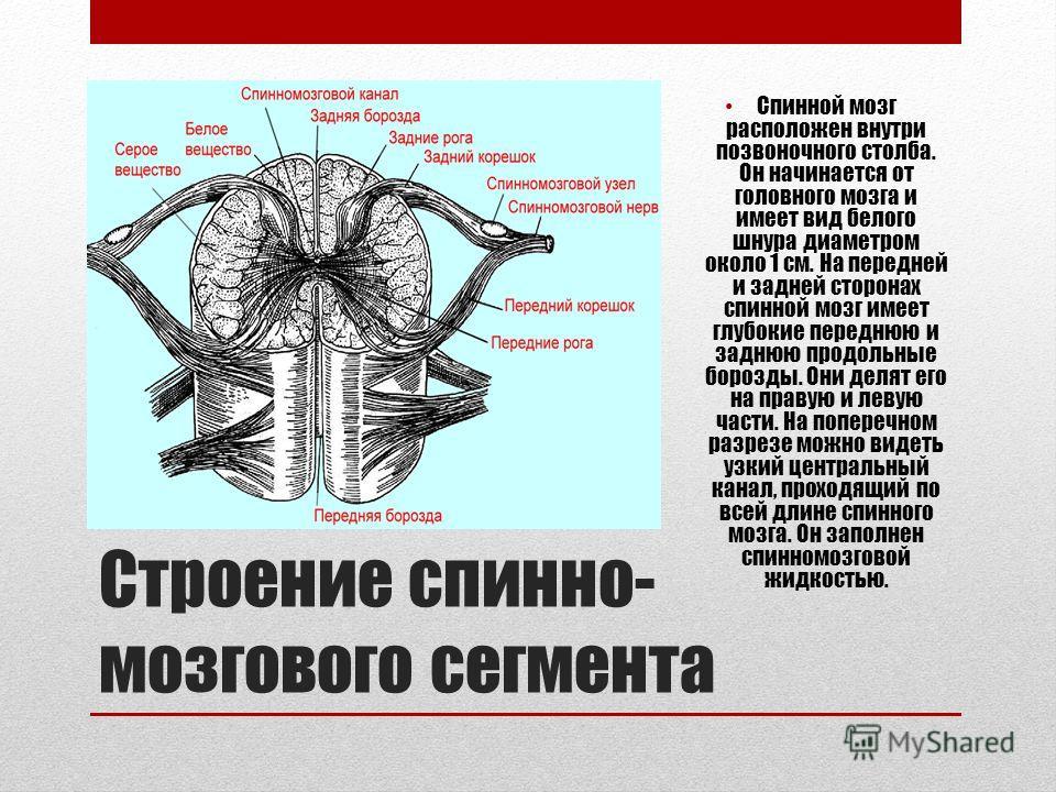 Строение спинно- мозгового сегмента Спинной мозг расположен внутри позвоночного столба. Он начинается от головного мозга и имеет вид белого шнура диаметром около 1 см. На передней и задней сторонах спинной мозг имеет глубокие переднюю и заднюю продол
