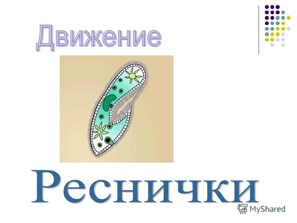 ? ? ? ? ? ? ? Клеточный рот ? Мембрана Цитоплазма Реснички Сократительная вакуоль Большое ядро Малое ядро Пищеварительная вакуоль Порошица ?