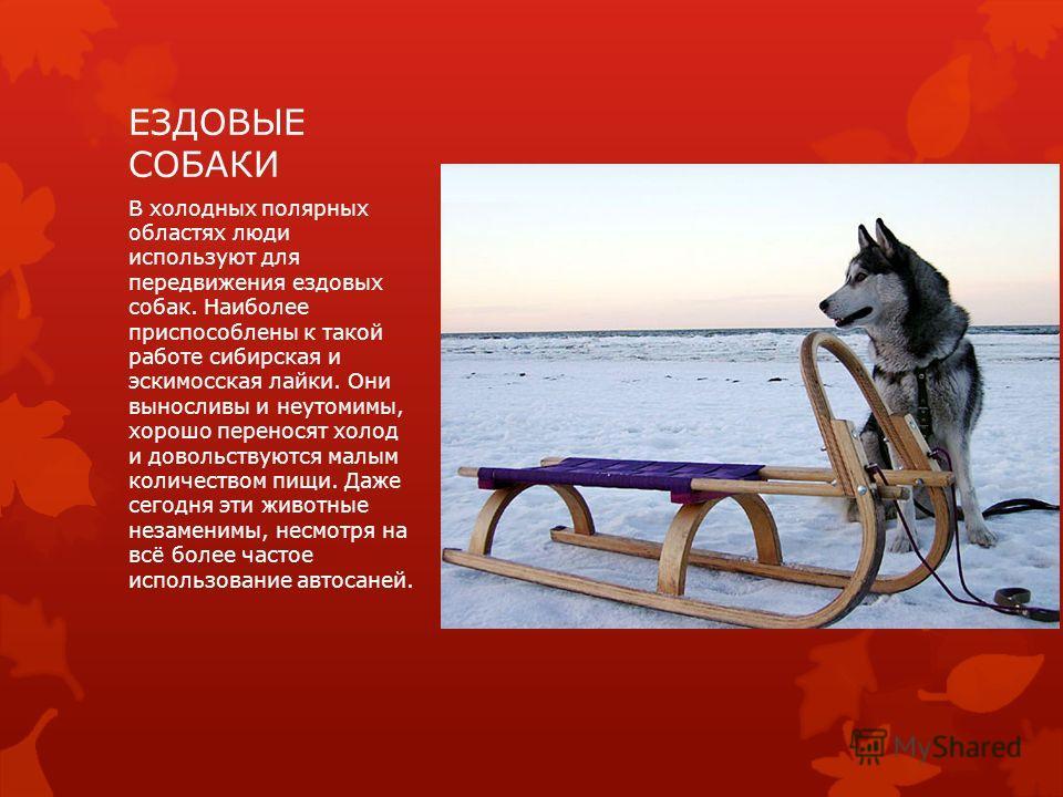 ЕЗДОВЫЕ СОБАКИ В холодных полярных областях люди используют для передвижения ездовых собак. Наиболее приспособлены к такой работе сибирская и эскимосская лайки. Они выносливы и неутомимы, хорошо переносят холод и довольствуются малым количеством пищи