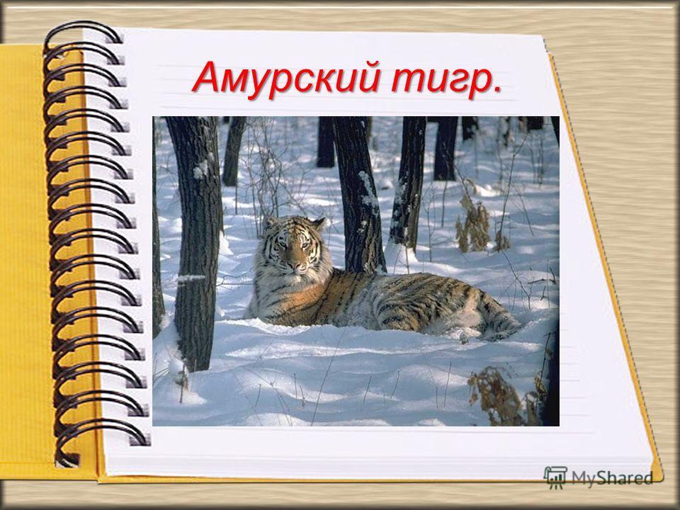 Амурский тигр. Амурский тигр самый северный тигр и животное, которое первым приходит в голову, когда мы говорим о вымирающих животных России. Кроме того, он претендует на звание самого симпатичного, а также это единственный тигр, имеющий на брюхе пят