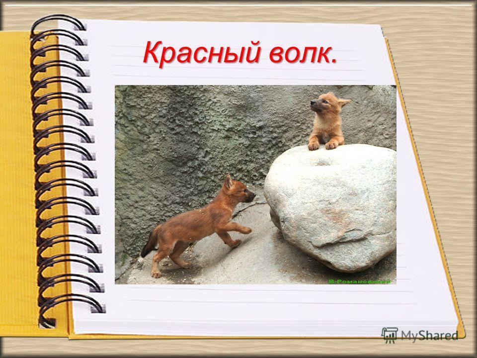 Красный волк. В России красный волк встречался в основном на юге Дальнего Востока (вымирающий вид). Красный волк хищное горное животное.В России красный волк встречался в основном на юге Дальнего Востока (вымирающий вид). Красный волк хищное горное ж
