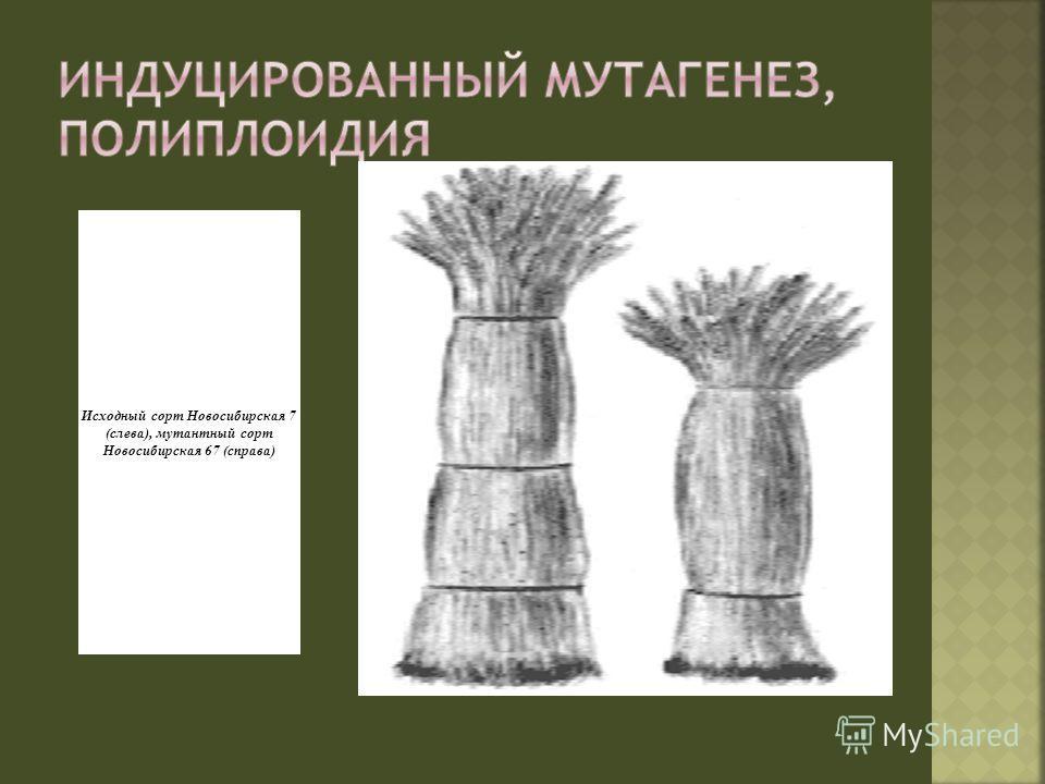 Исходный сорт Новосибирская 7 (слева), мутантный сорт Новосибирская 67 (справа)