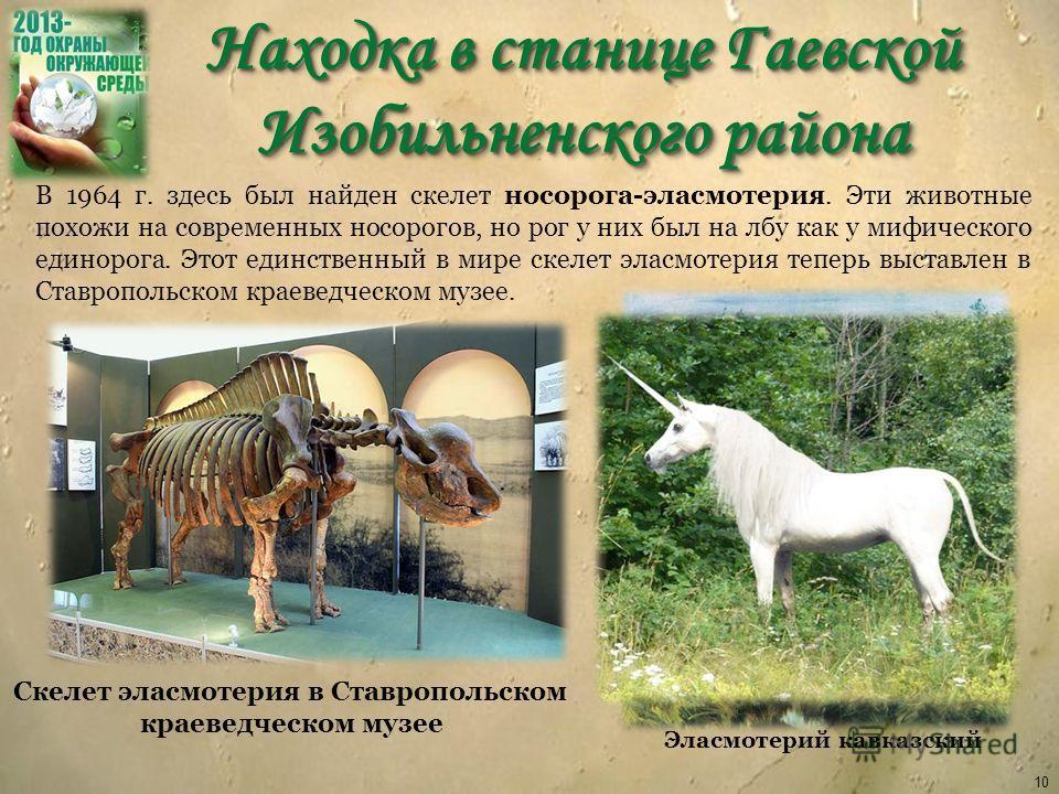 Находка в станице Гаевской Изобильненского района 10 В 1964 г. здесь был найден скелет носорога-эласмотерия. Эти животные похожи на современных носорогов, но рог у них был на лбу как у мифического единорога. Этот единственный в мире скелет эласмотери
