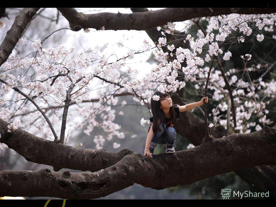 В Японии существует национальная традиция любования цветами, которая называется