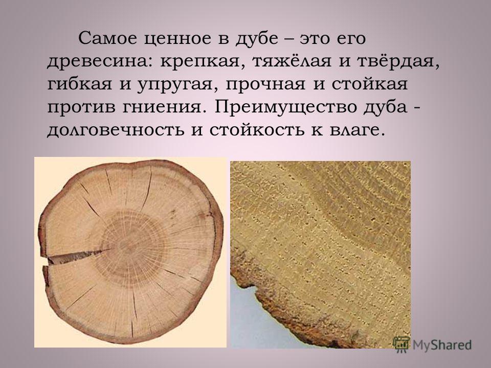 Самое ценное в дубе – это его древесина: крепкая, тяжёлая и твёрдая, гибкая и упругая, прочная и стойкая против гниения. Преимущество дуба - долговечность и стойкость к влаге.