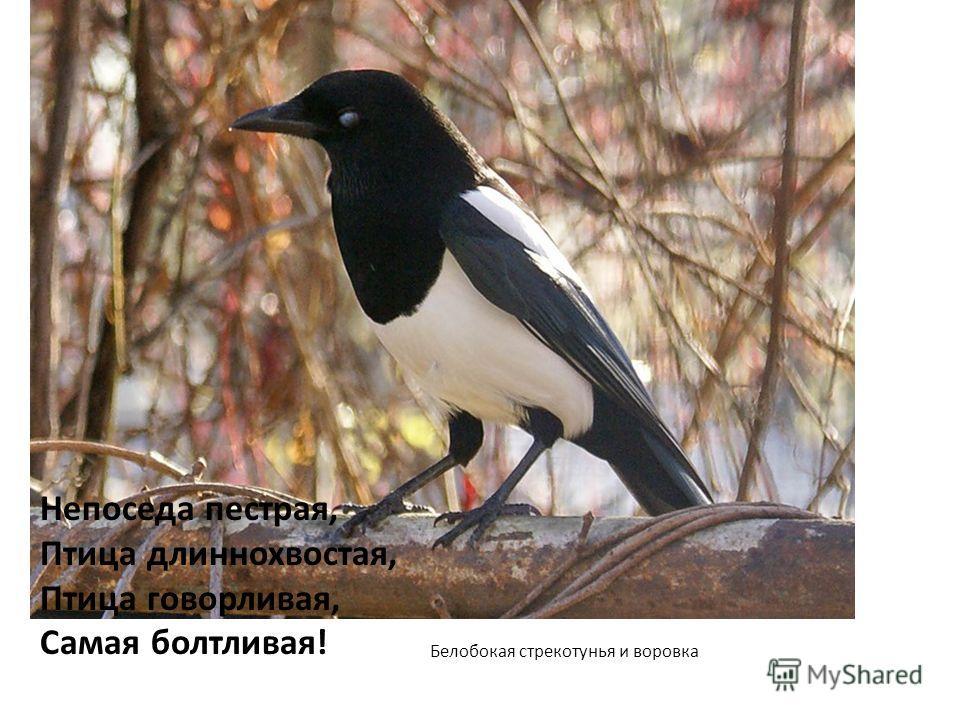 Белобокая стрекотунья и воровка Непоседа пестрая, Птица длиннохвостая, Птица говорливая, Самая болтливая!