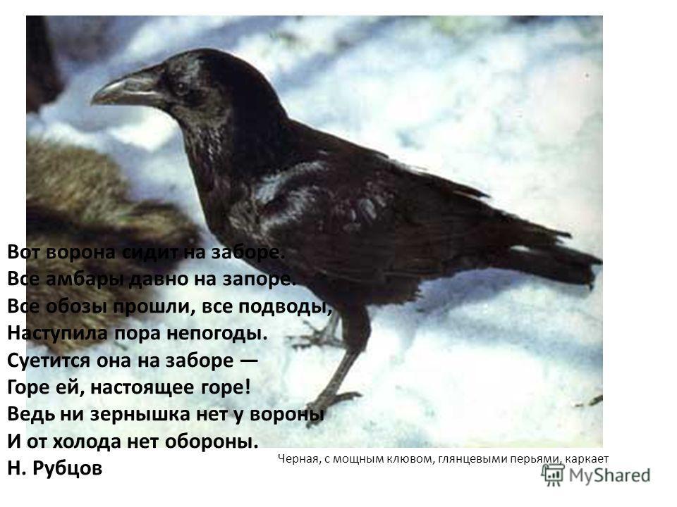 Черная, с мощным клювом, глянцевыми перьями, каркает Вот ворона сидит на заборе. Все амбары давно на запоре. Все обозы прошли, все подводы, Наступила пора непогоды. Суетится она на заборе Горе ей, настоящее горе! Ведь ни зернышка нет у вороны И от хо