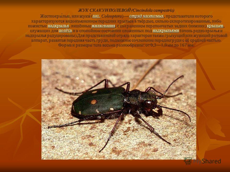 ЖУК СКАКУН ПОЛЕВОЙ (Cincindela campestris) Жесткокры́лые, или жуки́ (лат. Coleoptera) отряд насекомых, представители которого характеризуются видоизменением передних крыльев в твёрдые, сильно склеротизированные, либо кожистые надкрылья, лишённые жилк