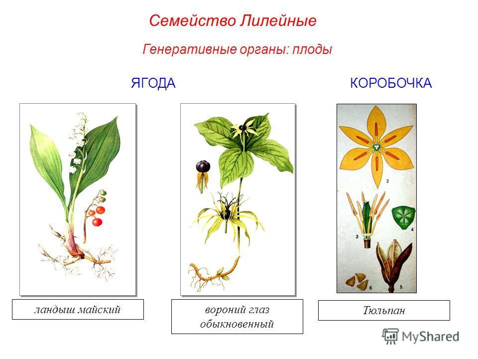 ЯГОДАКОРОБОЧКА ландыш майскийвороний глаз обыкновенный Генеративные органы: плоды Семейство Лилейные Тюльпан