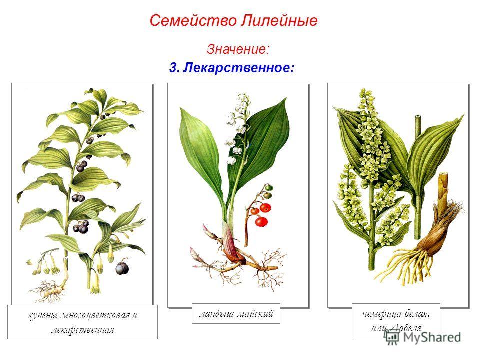 купены многоцветковая и лекарственная ландыш майскийчемерица белая, или Лобеля Семейство Лилейные Значение: 3. Лекарственное: