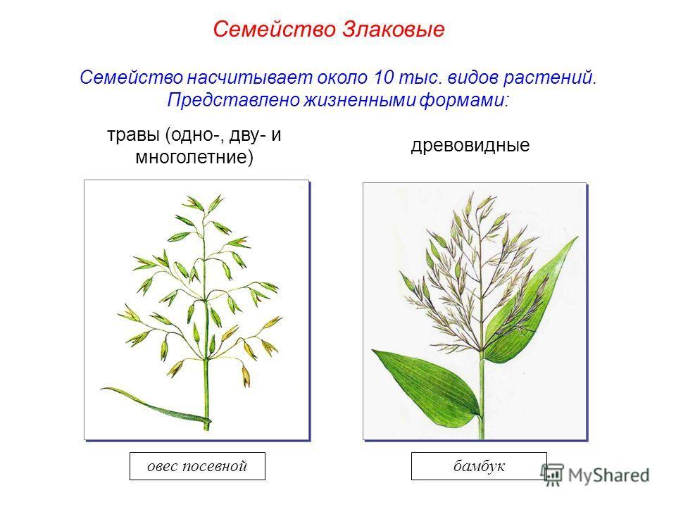 Семейство насчитывает около 10 тыс. видов растений. Представлено жизненными формами: травы (одно-, дву- и многолетние) древовидные бамбуковес посевной Семейство Злаковые