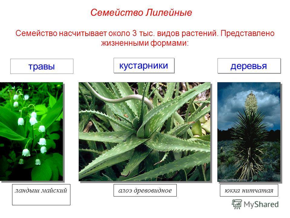 Семейство насчитывает около 3 тыс. видов растений. Представлено жизненными формами: травы деревья кустарники ландыш майскийалоэ древовидноеюкка нитчатая Семейство Лилейные