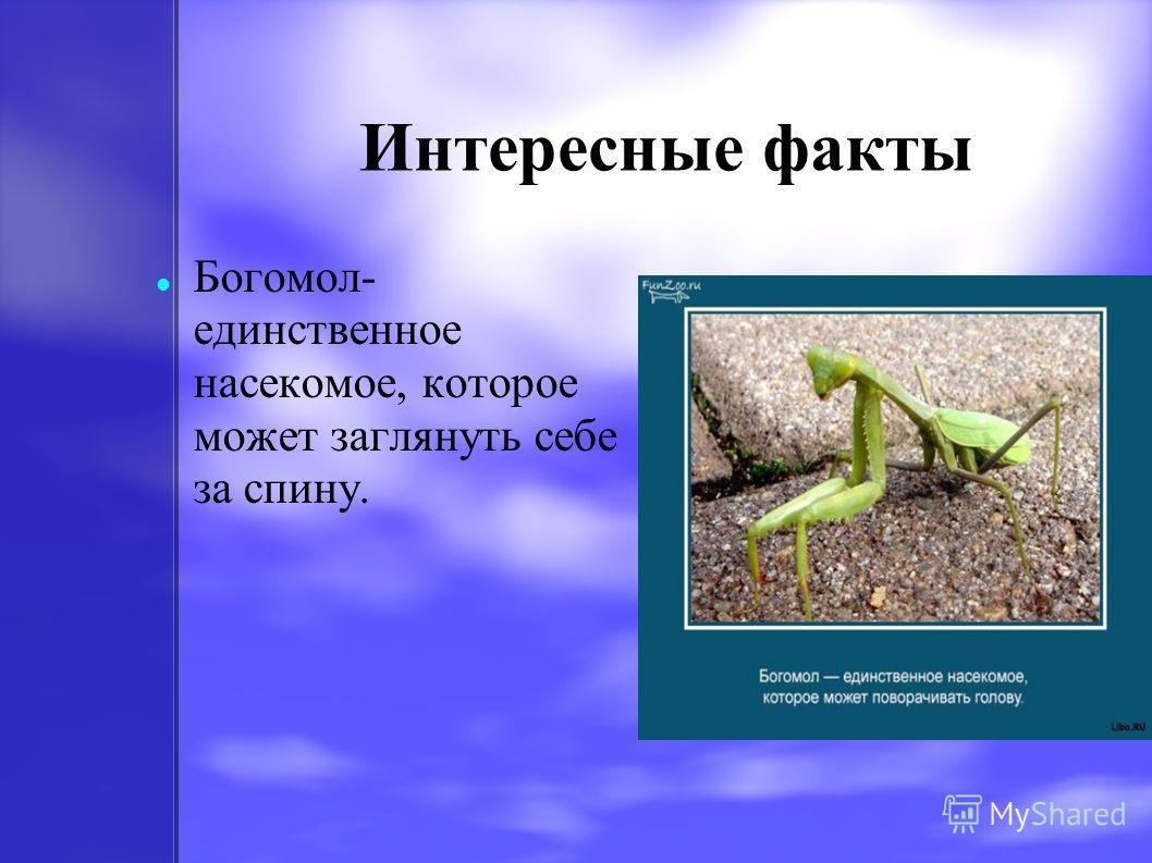 Интересные факты Богомол- единственное насекомое, которое может заглянуть себе за спину.