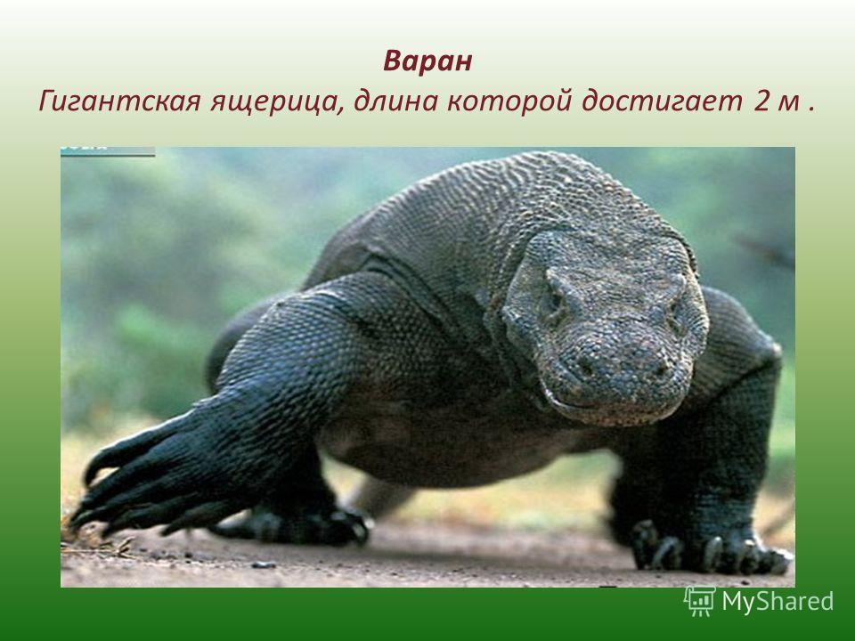 Варан Гигантская ящерица, длина которой достигает 2 м.