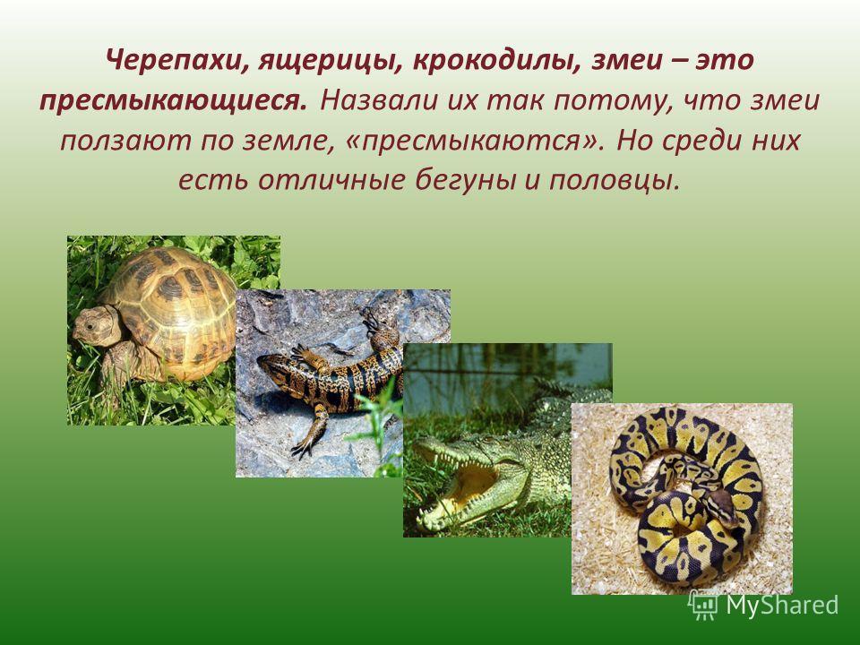 Черепахи, ящерицы, крокодилы, змеи – это пресмыкающиеся. Назвали их так потому, что змеи ползают по земле, «пресмыкаются». Но среди них есть отличные бегуны и половцы.