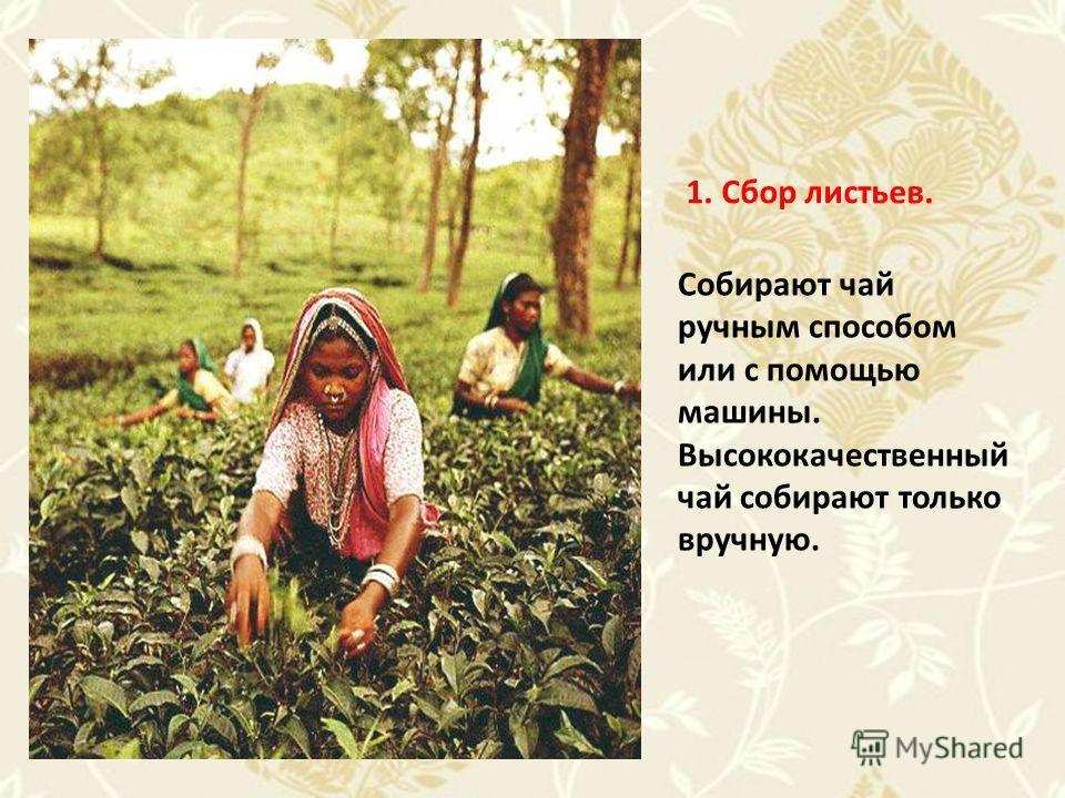 Собирают чай ручным способом или с помощью машины. Высококачественный чай собирают только вручную. 1. Сбор листьев.