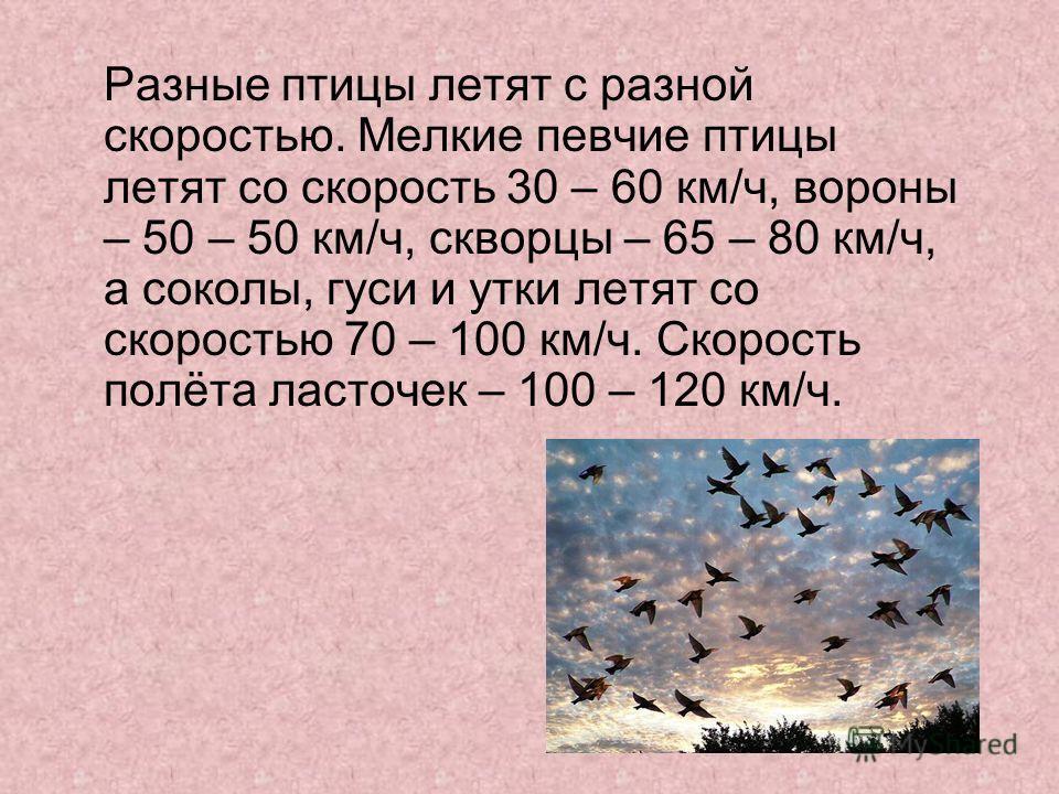 Разные птицы летят с разной скоростью. Мелкие певчие птицы летят со скорость 30 – 60 км/ч, вороны – 50 – 50 км/ч, скворцы – 65 – 80 км/ч, а соколы, гуси и утки летят со скоростью 70 – 100 км/ч. Скорость полёта ласточек – 100 – 120 км/ч.