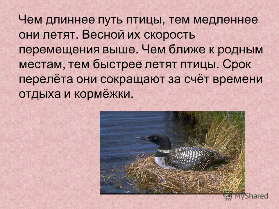 Чем длиннее путь птицы, тем медленнее они летят. Весной их скорость перемещения выше. Чем ближе к родным местам, тем быстрее летят птицы. Срок перелёта они сокращают за счёт времени отдыха и кормёжки.