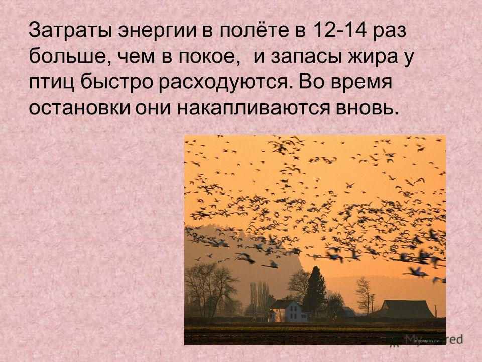 Затраты энергии в полёте в 12-14 раз больше, чем в покое, и запасы жира у птиц быстро расходуются. Во время остановки они накапливаются вновь.
